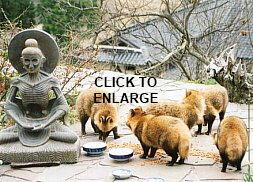 CLICK TO ENLARGE. Five real Tanuki feeding in garden of Dr. Gabi Greve