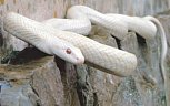 White Snake, Indigenous to Japan.