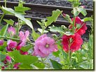 Hollyhock (June)