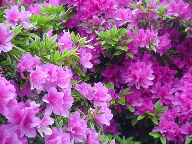 Azalia tsutsuji japanese flowers - Azalee da esterno ...